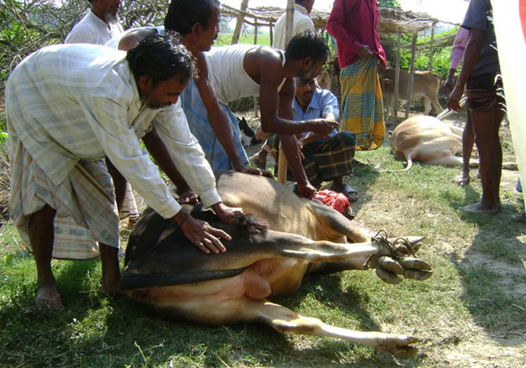 Slaughtering A Cow For Distribution